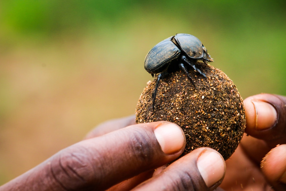 Dung beetle on a ball of dung being held up